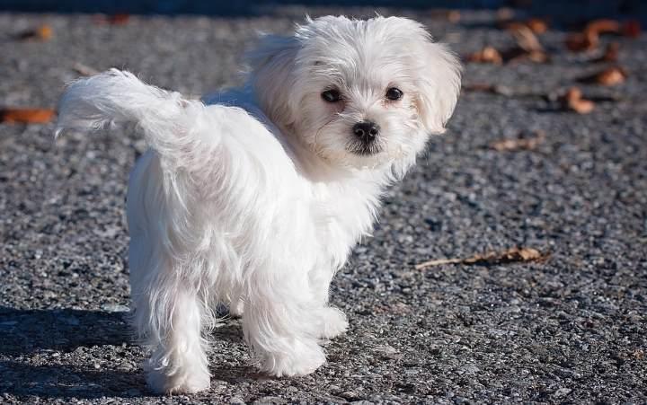 when to potty train a maltese puppy